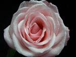 Livia Rose