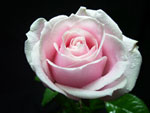 Sweet Avalanche Rose